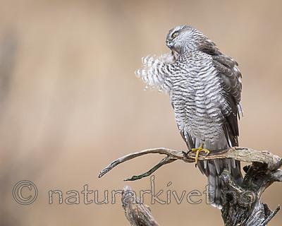 KA_171015_294 / Accipiter nisus / Spurvehauk