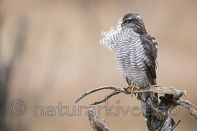 KA_171015_297 / Accipiter nisus / Spurvehauk