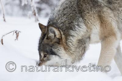 KA_171230_38 / Canis lupus / Ulv