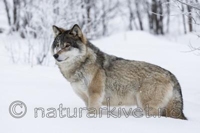 KA_171230_57 / Canis lupus / Ulv