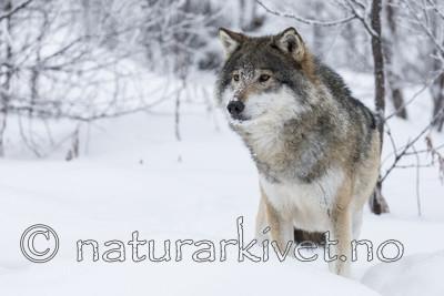 KA_171230_63 / Canis lupus / Ulv