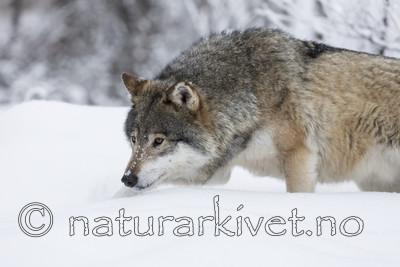 KA_171230_74 / Canis lupus / Ulv