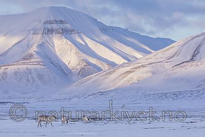KA_180302_98 / Rangifer tarandus platyrhynchus / Svalbardrein