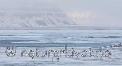 KA_180304_196 / Rangifer tarandus platyrhynchus / Svalbardrein