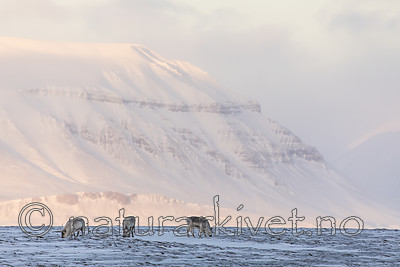 KA_180304_204 / Rangifer tarandus platyrhynchus / Svalbardrein