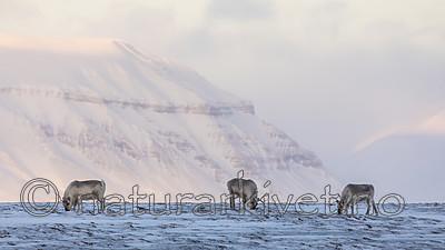 KA_180304_215 / Rangifer tarandus platyrhynchus / Svalbardrein