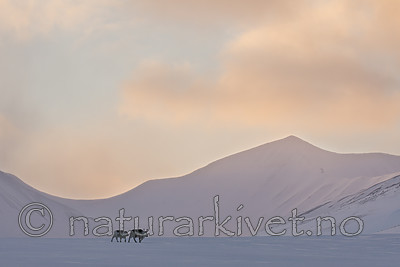 KA_180304_225 / Rangifer tarandus platyrhynchus / Svalbardrein