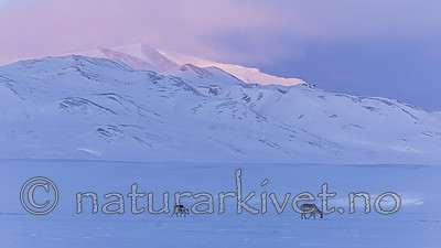 KA_180304_239 / Rangifer tarandus platyrhynchus / Svalbardrein