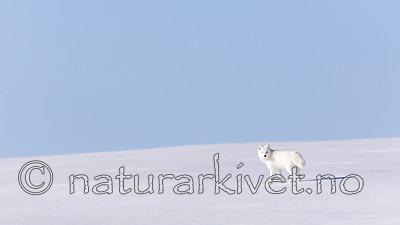 KA_180412_392 / Vulpes lagopus / Fjellrev