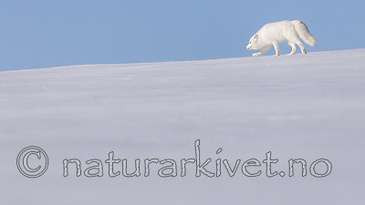 KA_180412_415 / Vulpes lagopus / Fjellrev