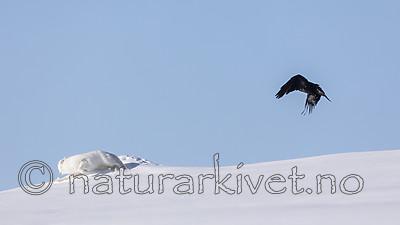 KA_180412_441 / Corvus corax / Ravn <br /> Vulpes lagopus / Fjellrev