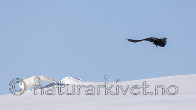 KA_180412_442 / Corvus corax / Ravn <br /> Vulpes lagopus / Fjellrev