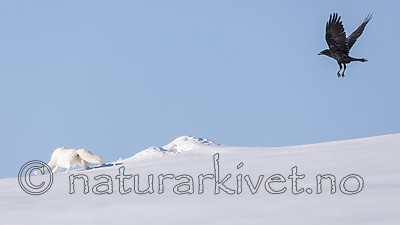 KA_180412_443 / Corvus corax / Ravn <br /> Vulpes lagopus / Fjellrev