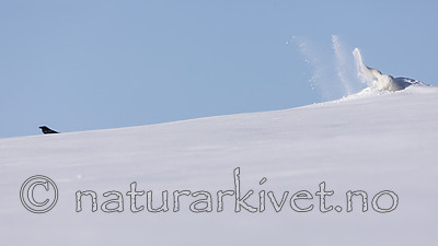 KA_180412_463 / Corvus corax / Ravn <br /> Vulpes lagopus / Fjellrev