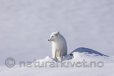 KA_180412_526 / Vulpes lagopus / Fjellrev