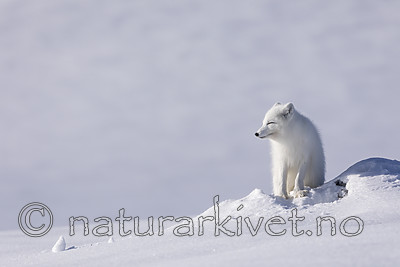 KA_180412_529 / Vulpes lagopus / Fjellrev