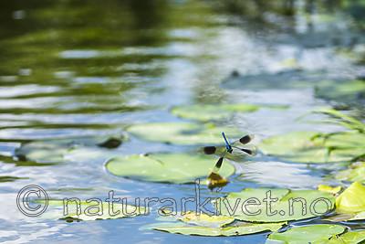 KA_180616_3 / Calopteryx splendens / Blåbånd-vannymfe
