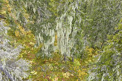 KA_190923_139 / Usnea longissima / Huldrestry