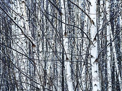 KA_191127_184 / Betula pubescens / Bjørk