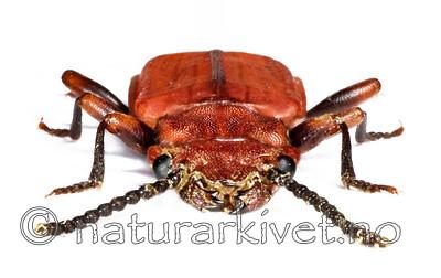 KA_cinnaberinus / Cucujus cinnaberinus / Sinoberbille