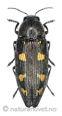 KA_novemmaculata_over / Buprestis novemmaculata / Niflekkpraktbille
