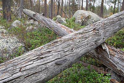 SIG_0401 / Gloeophyllum protractum / Langkjuke