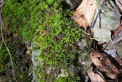 SIG_0671 / Brachythecium tommasinii / Myklundmose
