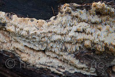 SIG_0835 / Anomoporia bombycina / Huldrekjuke