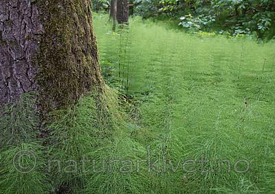 SIG_1263 / Equisetum sylvaticum / Skogsnelle