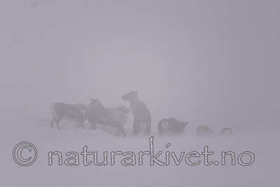 SIG_1545-2 / Rangifer tarandus tarandus / Fjellrein