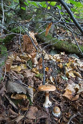 SIG_2694 / Cortinarius saporatus / Skrentslørsopp