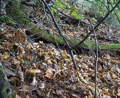 SIG_2699 / Cortinarius saporatus / Skrentslørsopp