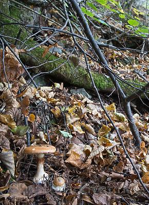 SIG_2701 / Cortinarius saporatus / Skrentslørsopp