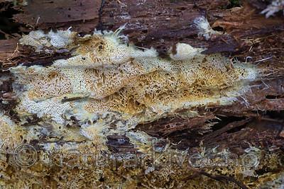 SIG_5338 / Anomoloma albolutescens / Gullfrynsekjuke