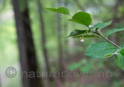SIG_6435 / Cotoneaster laxiflorus / Svartmispel