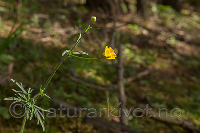 SIG_6831 / Ranunculus polyanthemos / Krattsoleie