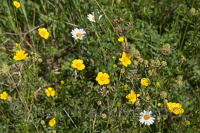 SIG_6864 / Ranunculus polyanthemos / Krattsoleie