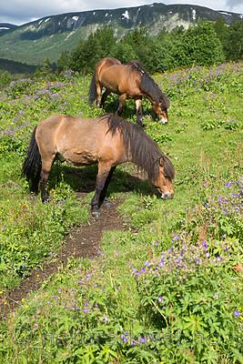 SIG_7135 / Equus caballus / Hest