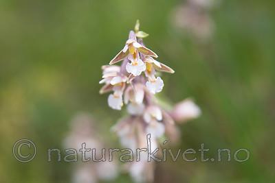 SIG_7514 / Epipactis palustris / Myrflangre