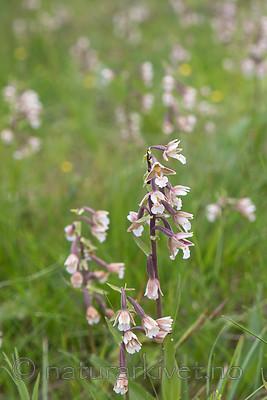 SIG_7534 / Epipactis palustris / Myrflangre