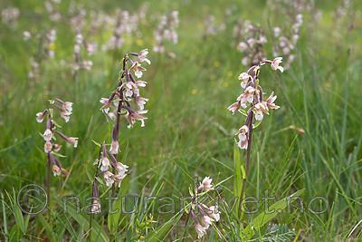 SIG_7539 / Epipactis palustris / Myrflangre
