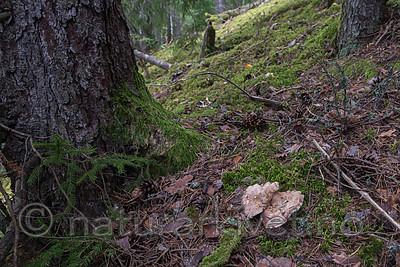 SIG_7954 / Sarcodon pseudoglaucopus