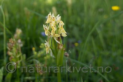 SIG_9156 / Dactylorhiza sambucina / Søstermarihand