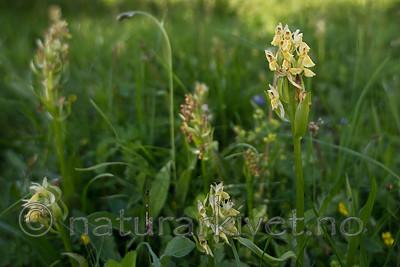 SIG_9158 / Dactylorhiza sambucina / Søstermarihand