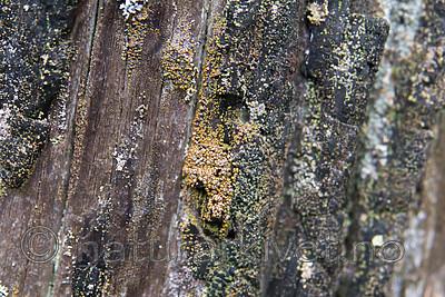 SIG_9906 / Carbonicola myrmecina / Mørk brannstubbelav