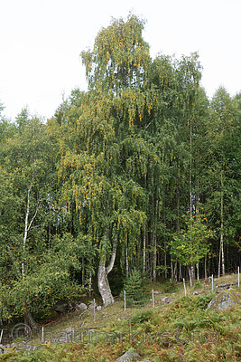 SIG_9978 / Betula pendula / Hengebjørk
