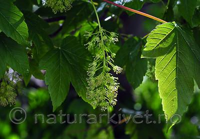 SIR_0576_2 / Acer pseudoplatanus / Platanlønn