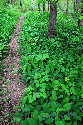 SIR_0725 / Convallaria majalis / Liljekonvall <br /> Laserpitium latifolium / Hvitrot