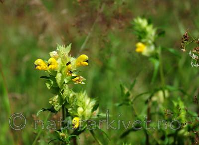 SIR_2628 / Rhinanthus angustifolius / Storengkall