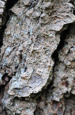 SIR_3209 / Bactrospora corticola / Granbendellav